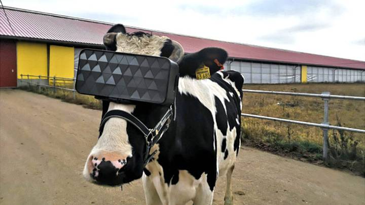 ​Russian Cows Are Being Given VR Headsets To Reduce Stress