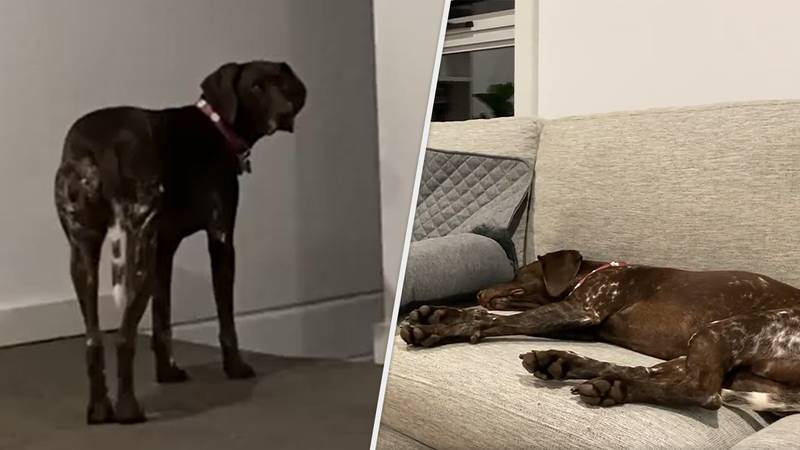 Dog Trained To Go To Bed When PlayStation 5 Powers Off